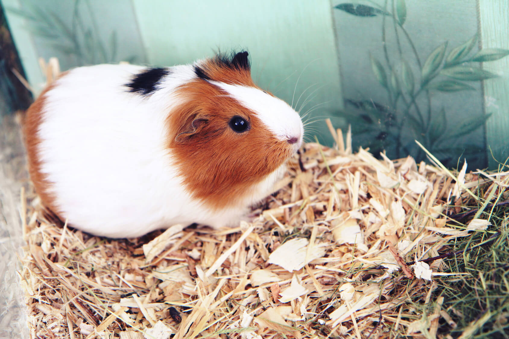 guinea pig exotic pet sitting madison wisconsin